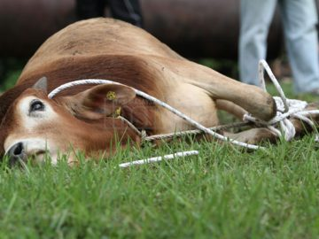 Cow slaughtering in schools in Malaysia during school hours are considered unconstitutional